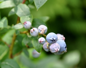ripening blueberries