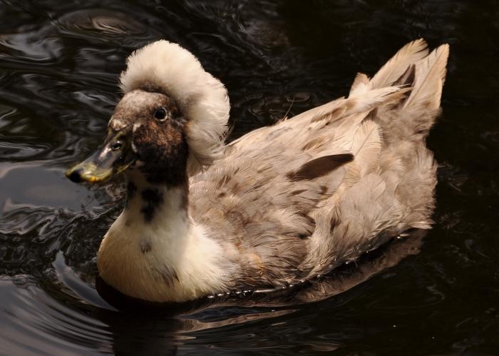 Ducky-Doo