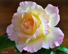 1st Rose