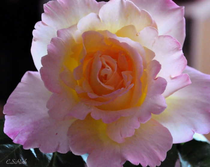Translucent Rose w