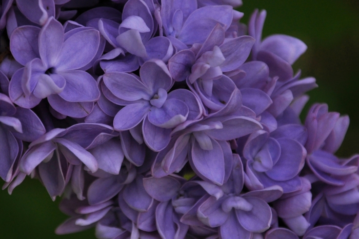 lilac close up