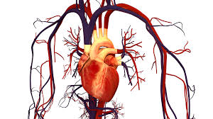 heart and circulation