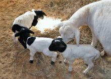 Newborn goats3