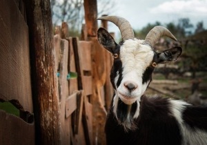 goat-328519_640